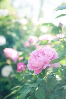 のバラ朝.jpg