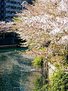 1桜散る.jpg