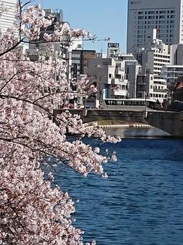 2桜散る.jpg