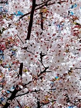 5桜散る.jpg